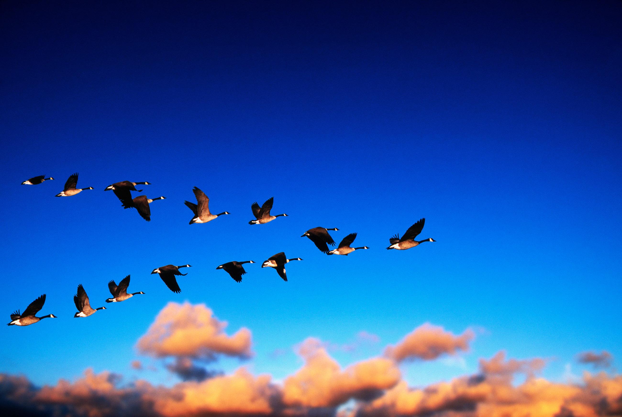 Risultati immagini per stormo di uccelli